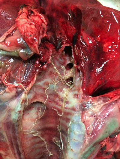 Lungworm in airways of an adult cow – from Ben Strugnell, Farm Post Mortems Ltd.