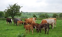 Suckler cows from the herd of Patrick and Ciaran Kearney