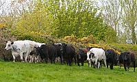 Beef Cattle grazing at Sloan's Farm